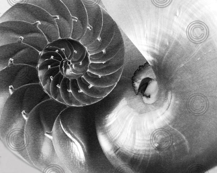 Nautilus Yin Yang